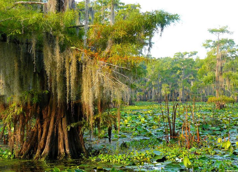 Spanish Moss, Caddo Lake, Texas