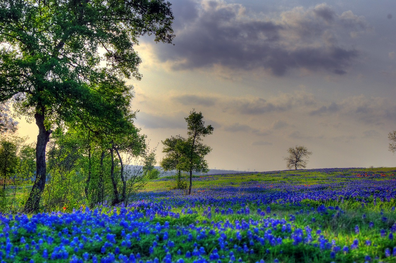 Bluebonnets abundant on Sugar Ridge Road
