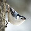 White-breaasted Nuthatch
