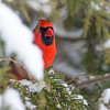 A very shy Northern Cardinal male. Love his colour!