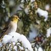 American Goldfinch - female?