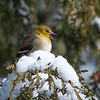 Angry bird!    American Goldfinch...