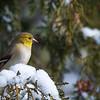 Calm bird resting - American Goldfinch