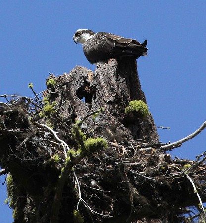 Osprey just above the remnants of it's nest in a snag near Clear Lake in the fall of 2016.