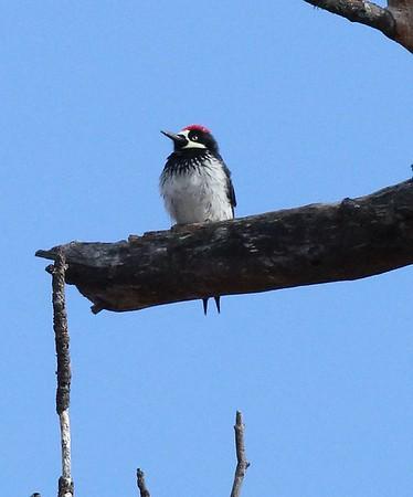 Acorn woodpecker sitting in the tree.