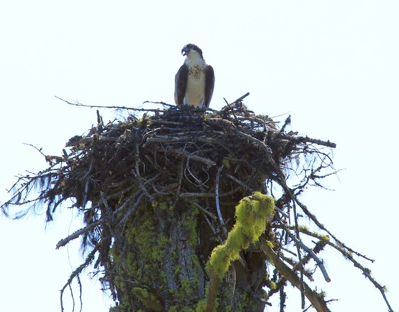 This photo is not as good, but it is the same nest earlier in the spring. You can really see how they are using the top of the snag.