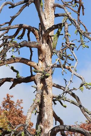 Acorn woodpecker granary tree.