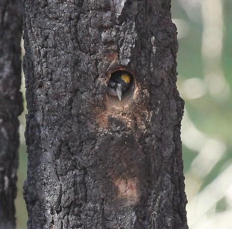 Black-backed woodpecler, Angel underburn 2015
