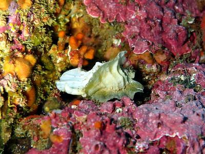 Ceratostoma foliatum (leafy hornmouth)