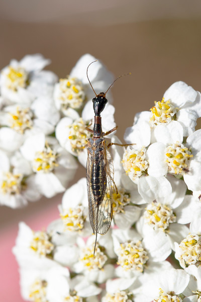 Snakefly (Raphidioptera)