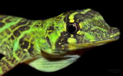 Anolis princeps close-up
