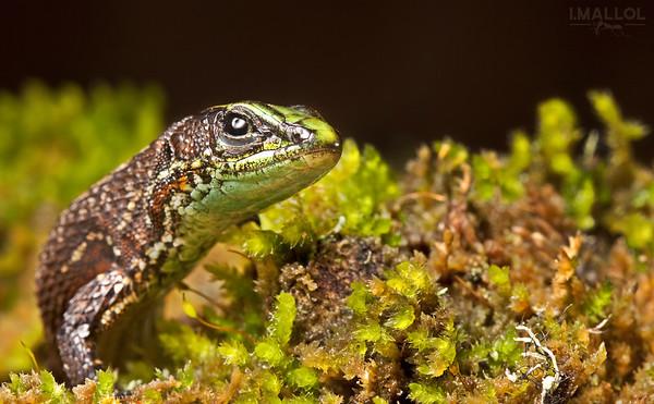 Emerald green lizard (Alopoglossus viridiceps)