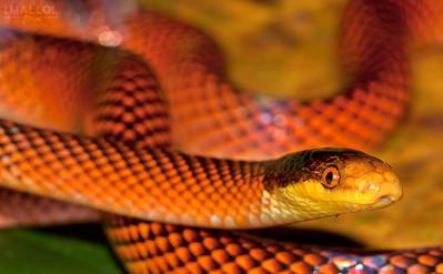 Yellow-headed Calico Snake (Oxyrhopus Formosus)