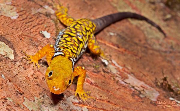 Collared sun gecko (Gonatodes concinnatus)