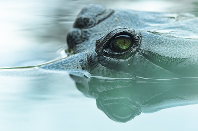 Gharial Watching