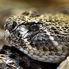 Diamondback Rattlesnake Closeup