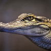 Alligator Portrait