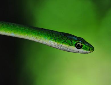Green Rough Snake