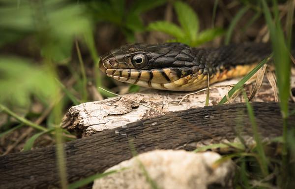 Dennis Stewart - Yellow-Bellied Water Snake