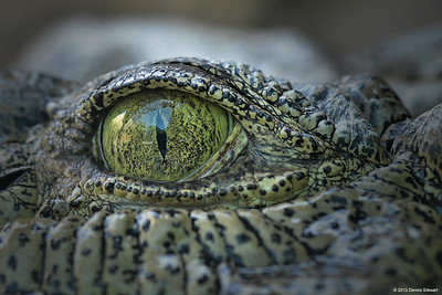 Gator Eye Closeup