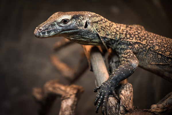 Juvenile Komodo Dragon