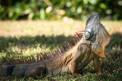 Dennis Stewart - Green Iguana