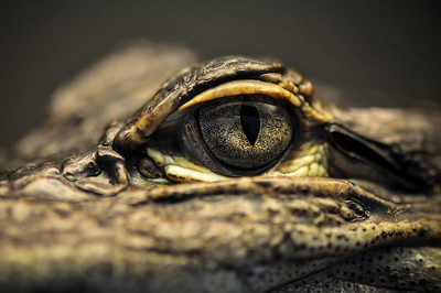 Eye of the Gator