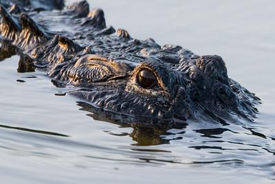 Dennis Stewart - Gator Closeup
