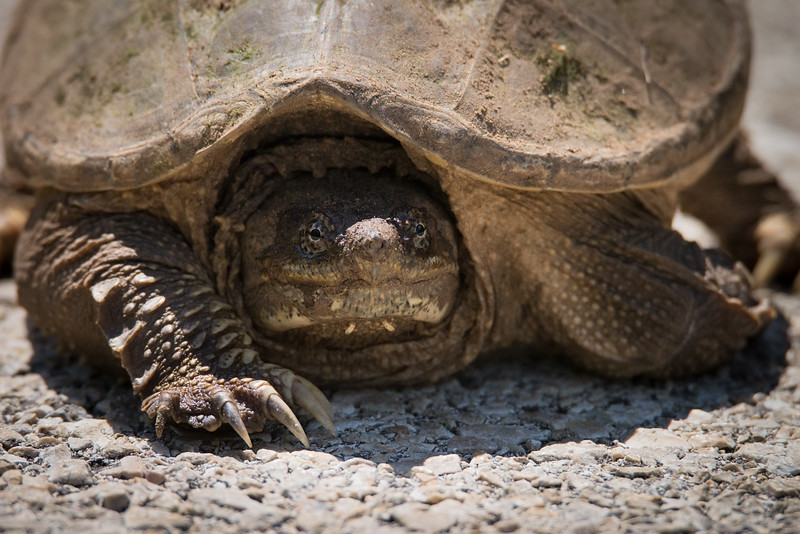 Texas Snapping Turtle