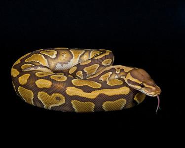 Caramel Ball Python