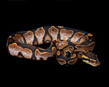 Calico Ball Python