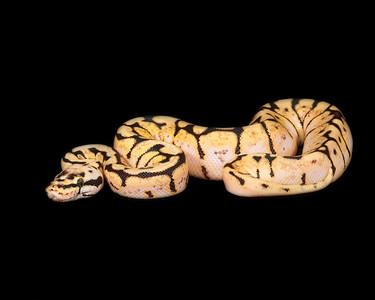 Bumble Bee Ball Python