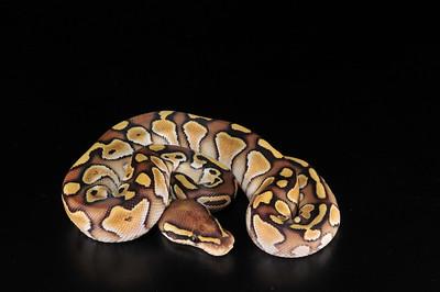 Lesser Plat Female 0902 (Keeper)