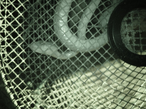 Brown tree snake (Boiga irregularis) in a trap (Guam, May 2003) OK to use this image in publications courtesy of CGAPS