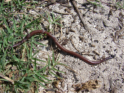 Blind snake (Ramphotyphlops braminus) with Bermuda grass (Cynodon dactylon) at Bulky Dump Sand Island, Midway Atoll (02 June 2008).  Photo by Forest & Kim Starr (image use policy)
