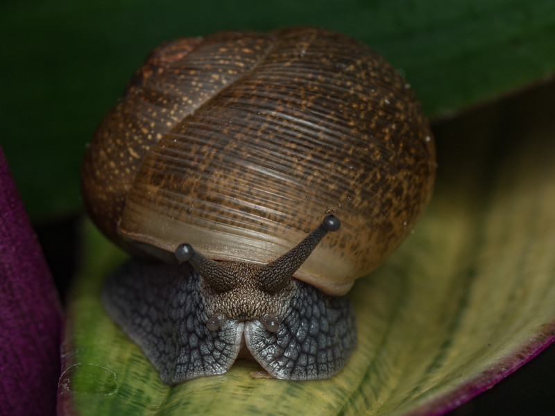 Snail, undetermined species