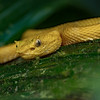 Eyelash Viper, yellow morph