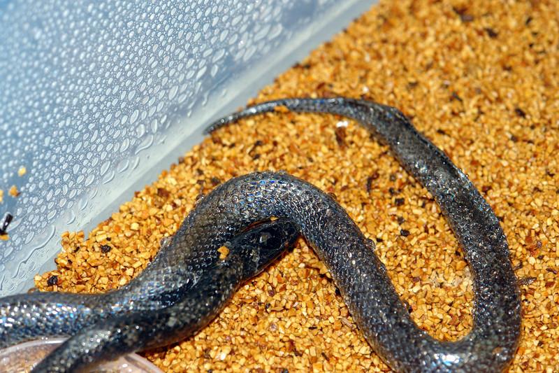 Amblyodipsas Unicolor, Western Purple Gloss Snake