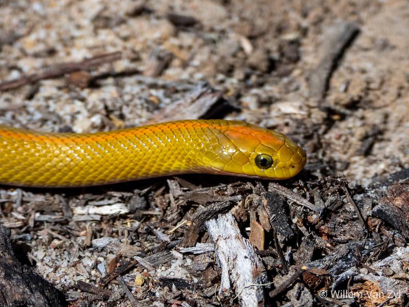 Aurora House Snake (Lamprophis aurora)