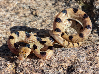 20200523 Beetz's Tiger Snake (Telescopus beetzii) from Springbok, Northern Cape