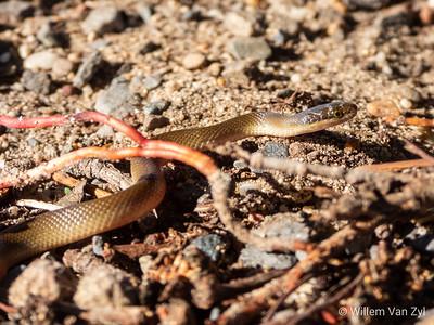 20190527 Brown Water Snake (Lycodonomorphus rufulus) from Flamingo Vlei