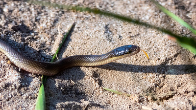 20190908 Brown Water Snake (Lycodonomorphus rufulus) from Table View, Western Cape