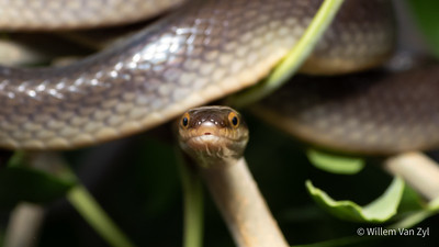 20201201 Brown Water Snake (Lycodonomorphus rufulus) from Flamingo Vlei, Western Cape