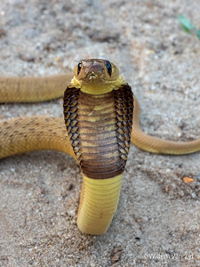 20190926 Cape Cobra (Naja nivea) from Stellenbosch, Western Cape
