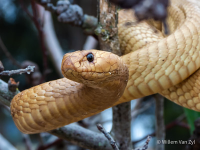 20201025 Cape Cobra (Naja nivea) from Contermanskloof, Western Cape