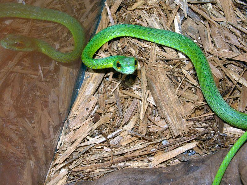 Leptophis ahaetulla<br /> Parrot Snake<br /> Courtesy of Dan Scolaro