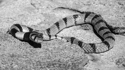 20200523 Coral Snake (Aspidelaps lubricus) from Springbok, Northern Cape