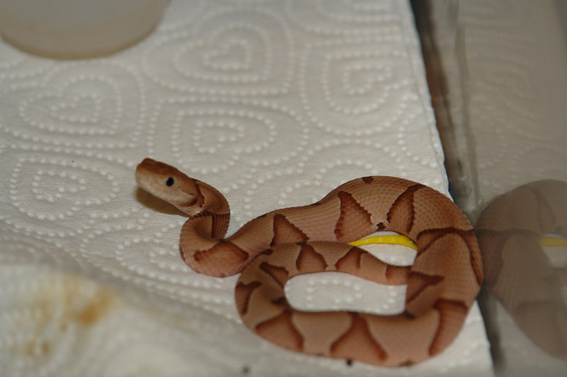 Agkistrodon contortrix<br /> Southern Copperhead<br /> Courtesy of Eric Marquette