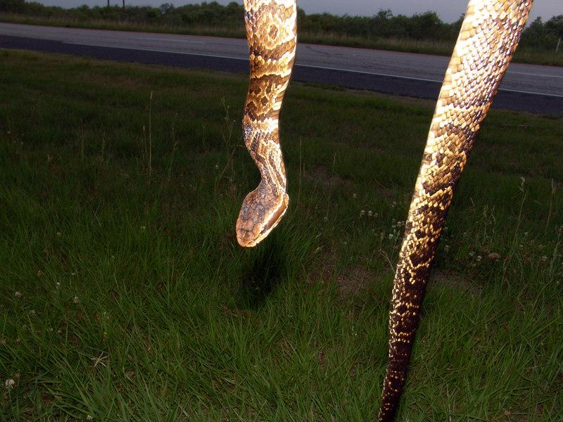 Agkistrodon piscivorus conanti<br /> Florida Cottonmouth<br /> Wild Specimen