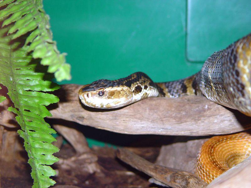 Agkistrodon piscivorus <br /> Eastern Cottonmouth<br /> Clyde Peelings Reptile Land
